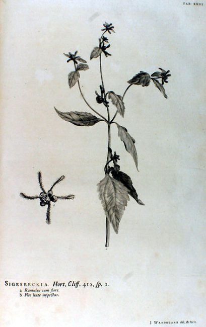 In Hortus Cliffortianus, Linné named the genus Sigesbeckia after Johann Georg Siegesbeck, who shortly afterwards became one of his clearest critics. The drawing is by Jan Wandelaar.