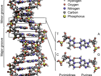 Crick and Watson decipher the DNA