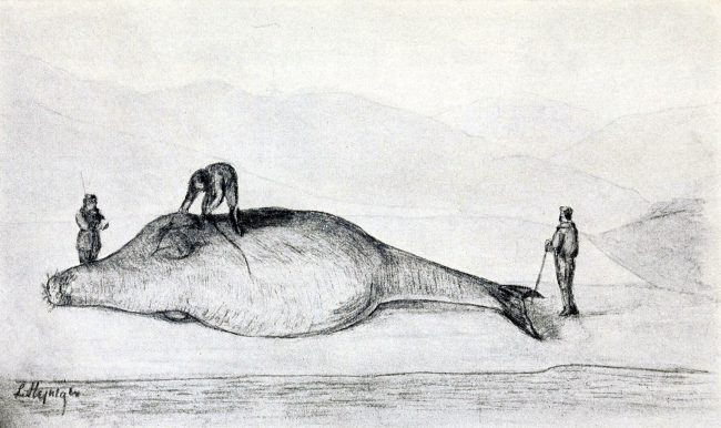 Reconstruction of Steller measuring a Steller's sea cow on Bering Island, July 12, 1742. from Leonhard Stejneger, Steller's Journal of the Sea Voyage from Kamchatka to America, p. 228