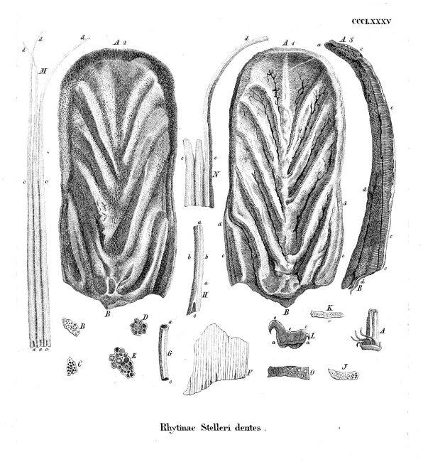 Hydrodamalis gigas Tooth.