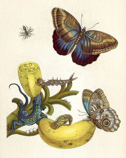 Illuminated Copper-engraving from Metamorphosis insectorum Surinamensium by Maria Sibylla Merian