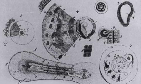 Caspar Friedrich Wolff – the Founder of Embryology