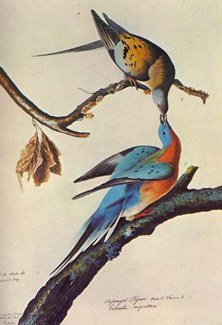A pair of Passenger Pigeons (Ectopistes migratorius), watercolor by John James Audubon (1785–1851)