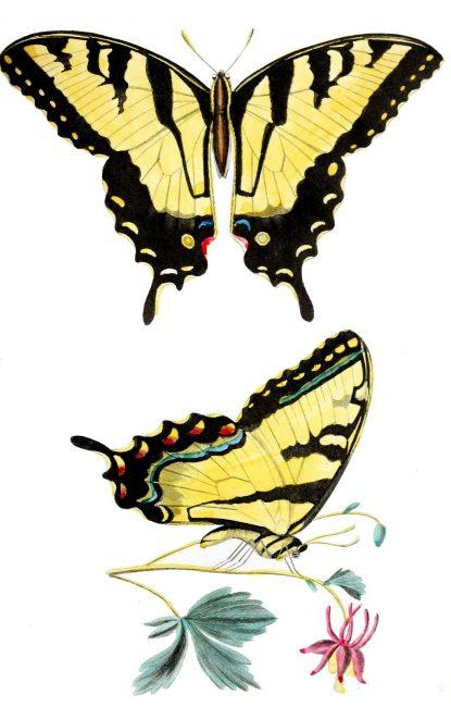 Papilio glaucus von Thomas Say in American Entomology