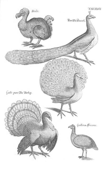 Woodcuts of Dodo, Peacock, Turkey, Guineafowl from Willughby's and Ray's Ornithology 1678