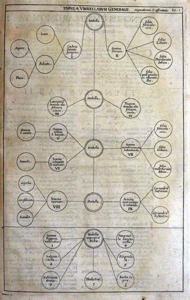 Illustration from Morison's Plantarum Umbelliferarum Distributio Nova (1672)