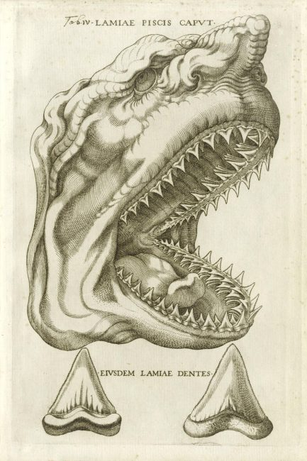"Steno used this picture from an unpublished Vatican catalogue of 1667 in his treatise Canis carchariae dissectum caput to show that the ""tongue stones"" are fossil shark teeth"