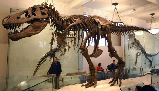 Tyrannosaurus rex skeleton (the specimen AMNH 5027) at American Museum of Natural History.