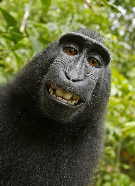 Selfie of a Crested Monkey (Macaca nigra) in North Sulawesi (Indonesia), a macaque species that has pointed the camera of the photographer David Slater at itself and activated the trigger.