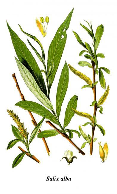 White willow (Salix alba)