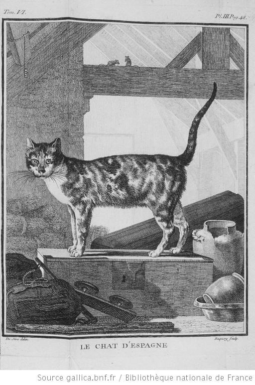 Le Chat d'Espagne (Catus hispanicus) dans l'Histoire naturelle de Buffon.