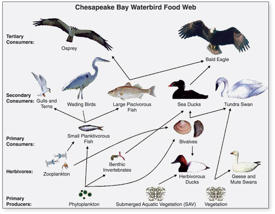 Food Chains were published in 1927 by Charles Elton