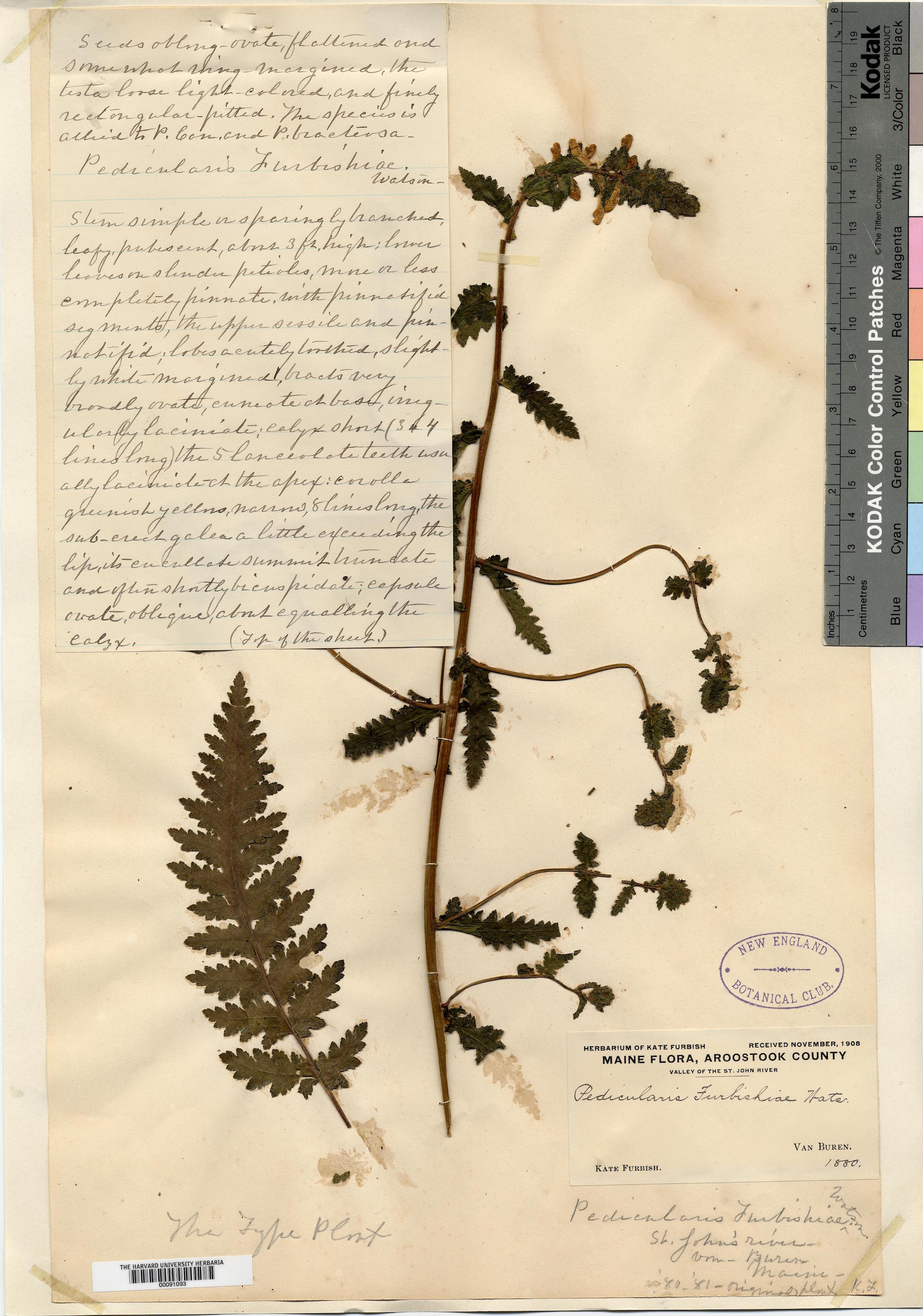 Pressing of the Pedicularis furbishiae named after Catherine Furbish