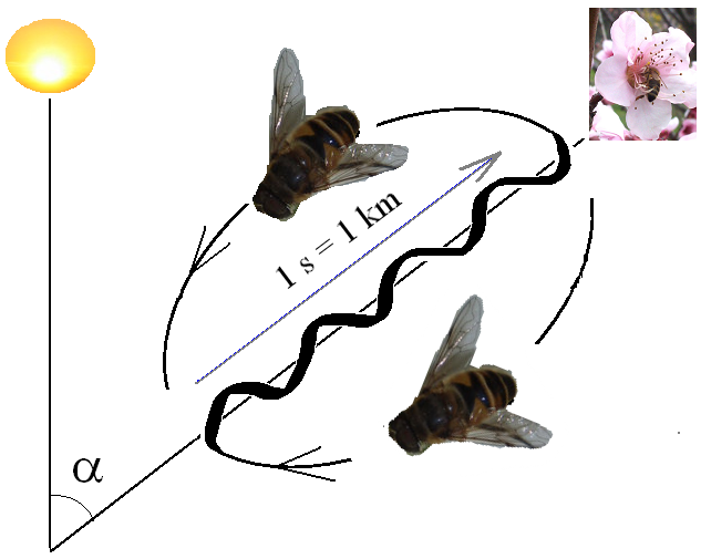 Interpretation of the honey bee waggle dance