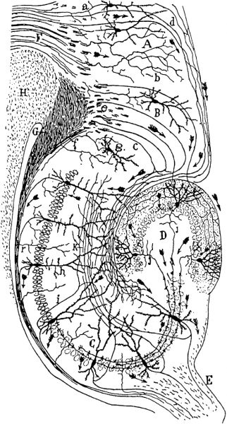 Drawing of the neural circuitry of the rodent hippocampus. By Santiago Ramón y Cajal.
