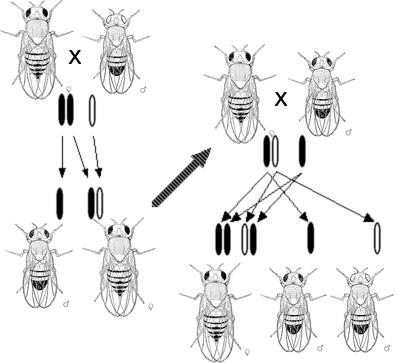 Inheritance of eye colour in fruit flies according to Morgan