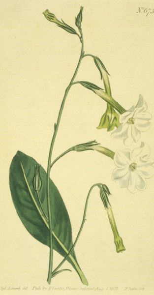 Nicotiana suaveolens: (New-holland Tobacco), one of the plants Edward M. East used for his breeding experiments