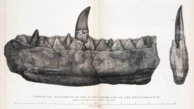 Engraving of the fragment of the right lower jaw of Megalosaurus of Stonesfield near Oxford described by Buckland from the first description Notice on the Megalosaurus or great Fossil Lizard of Stonesfield of 1824.