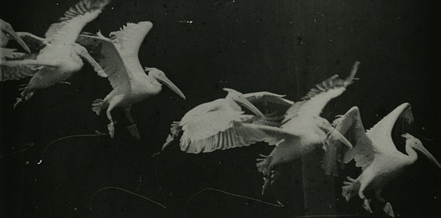 Flying pelican captured by Étienne-Jules Marey around 1882