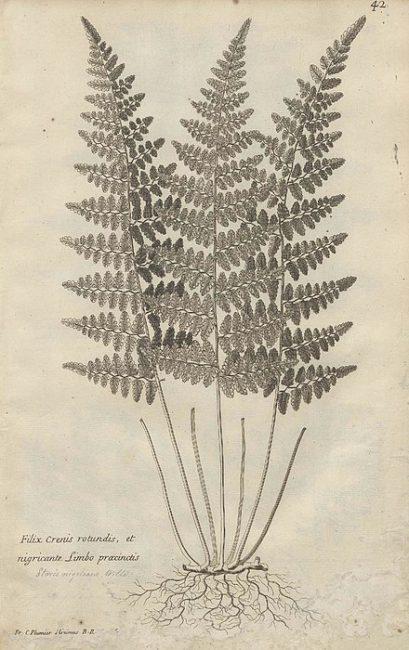 """Filix Crenis Rotundis, illustration contained in """"Traité des Fougères de l'Amérique"""", 1705"""
