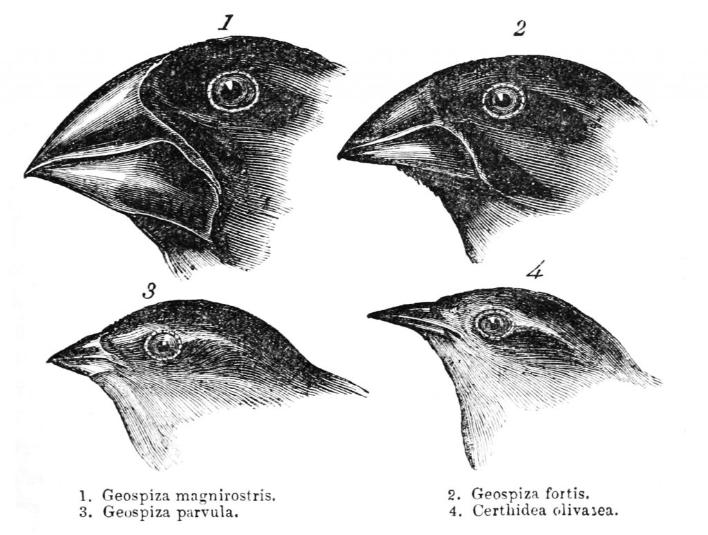Darwin's finches or Galapagos finches. Darwin, 1845. Journal of researches into the natural history and geology of the countries visited during the voyage of H.M.S. Beagle round the world, under the Command of Capt. Fitz Roy, R.N. 2d edition. 1.